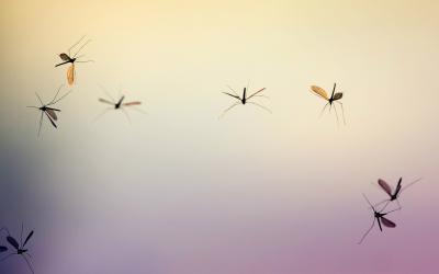 3 soorten muggen die je wilt (her)kennen