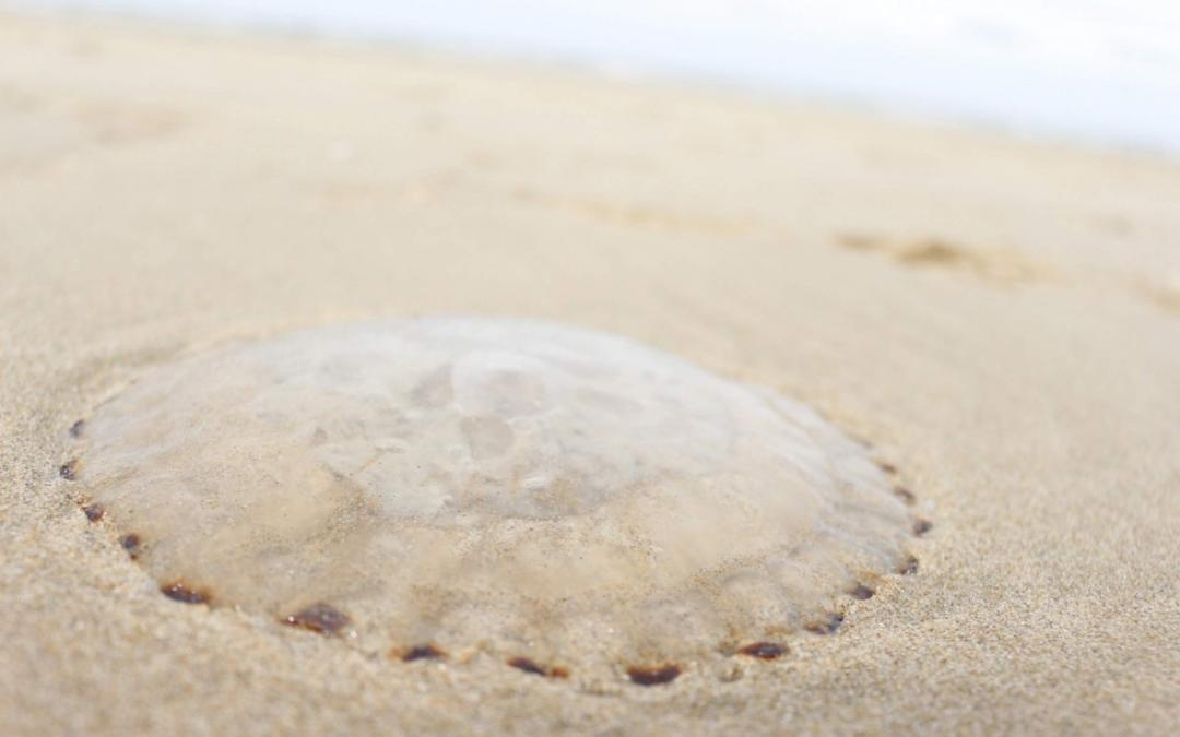 Nuisances causées par des méduses sur la côte néerlandaise