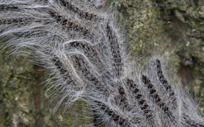 Zachte winter kan in maart al zorgen voor eikenprocessierupsen