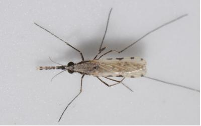 New Malaria Mosquito on the block (in Africa)